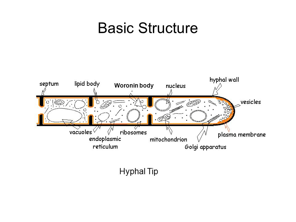 Basic Structure Woronin body Hyphal Tip