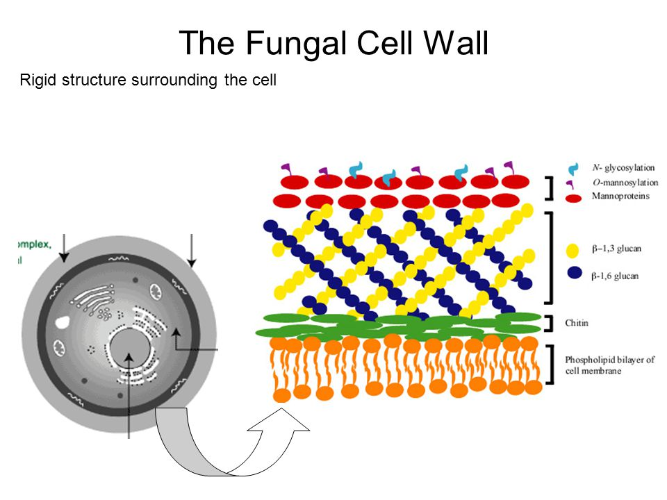 The Fungal Cell Wall Rigid structure surrounding the cell