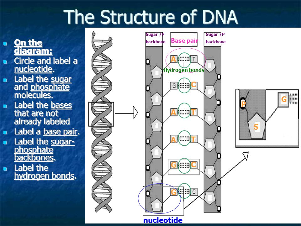 The Structure of DNA On the diagram: Circle and label a nucleotide.