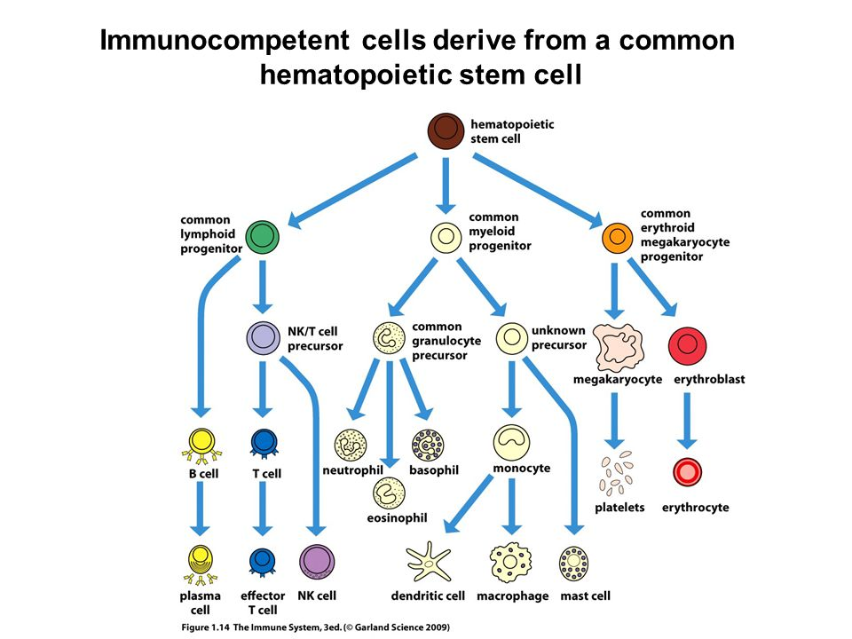 Immunocompetent cells derive from a common hematopoietic stem cell