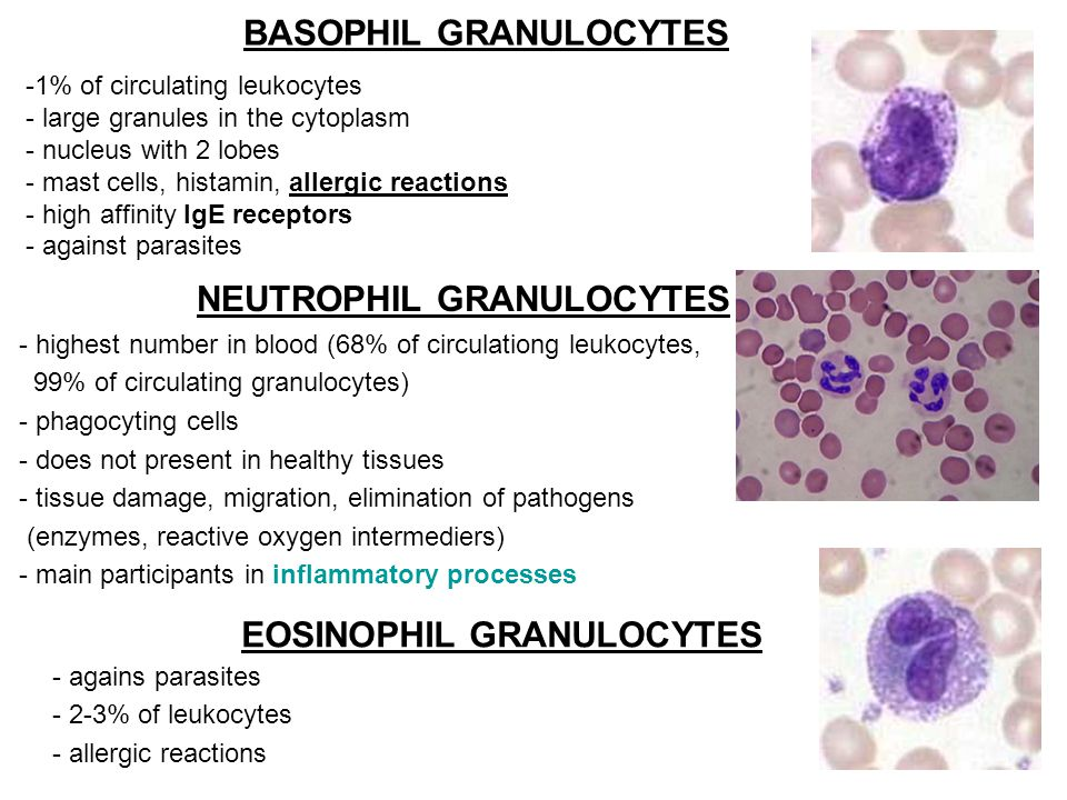 BASOPHIL GRANULOCYTES NEUTROPHIL GRANULOCYTES EOSINOPHIL GRANULOCYTES