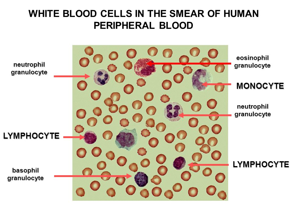 WHITE BLOOD CELLS IN THE SMEAR OF HUMAN PERIPHERAL BLOOD