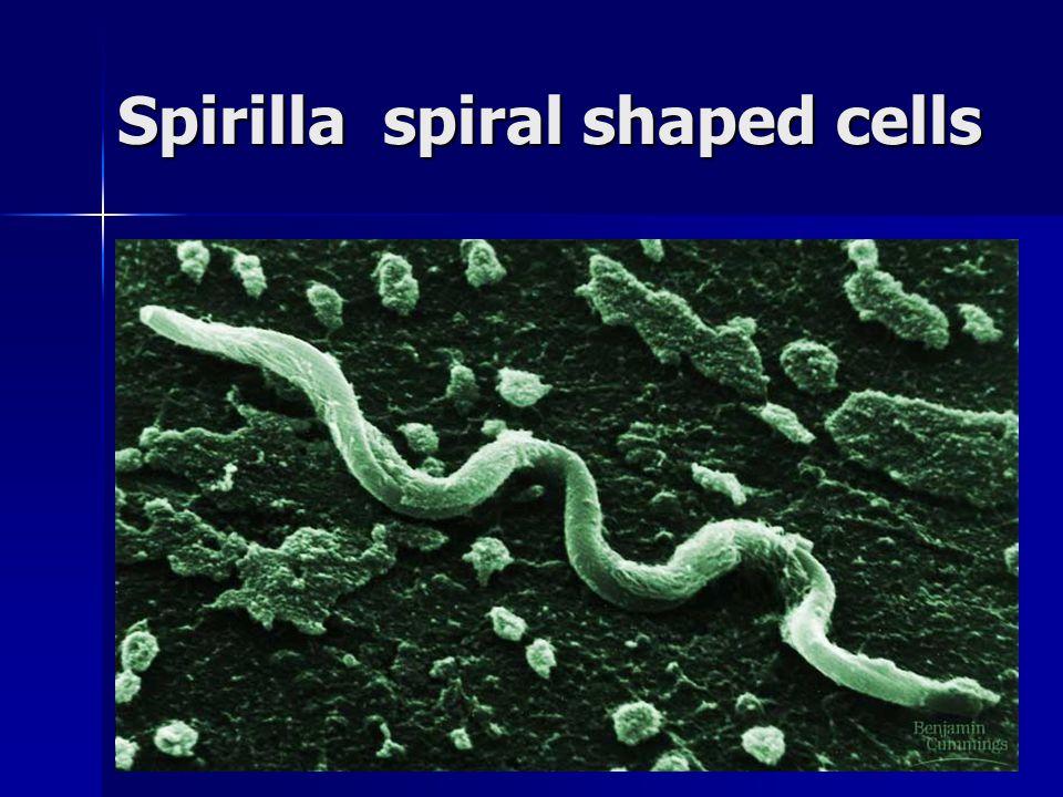 Spirilla spiral shaped cells