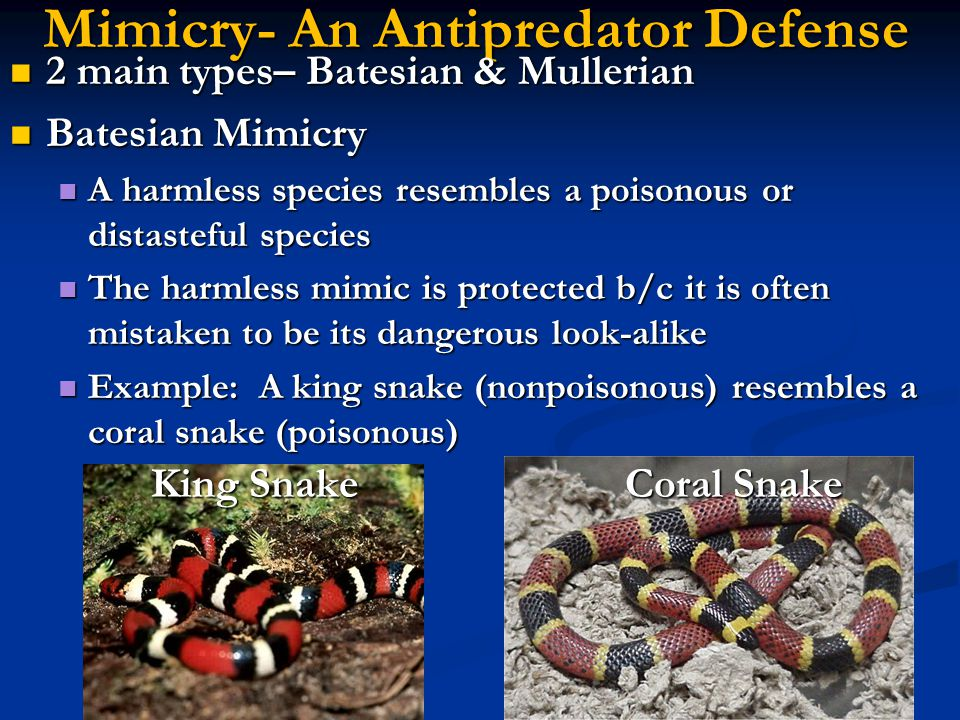 Mimicry- An Antipredator Defense