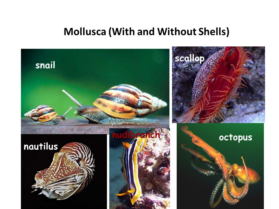 Mollusca (With and Without Shells)