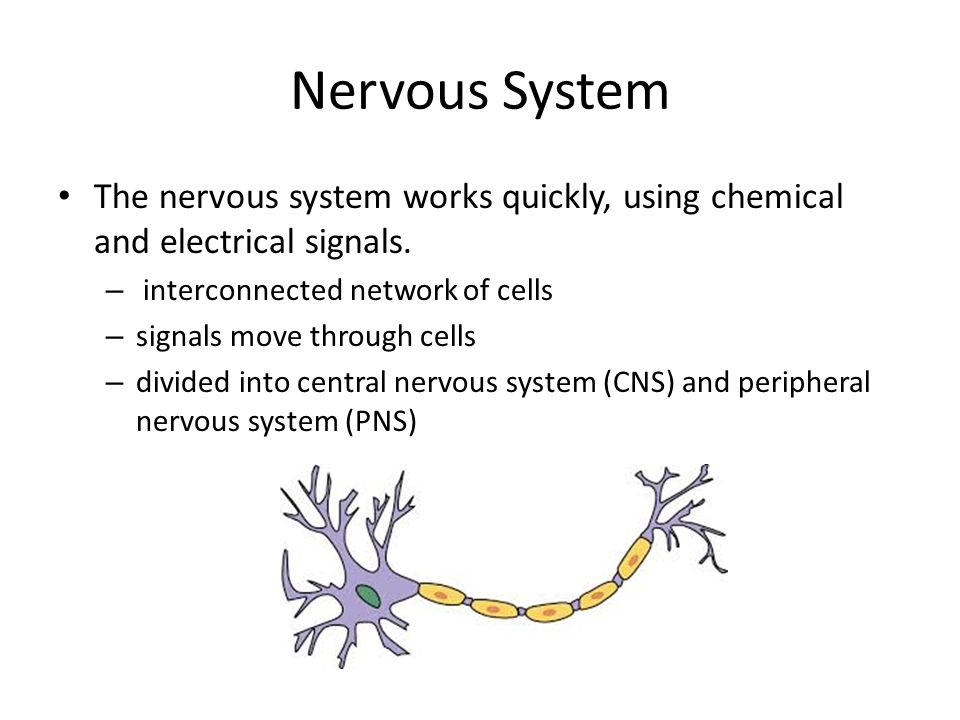 Nervous System The nervous system works quickly, using chemical and electrical signals. interconnected network of cells.