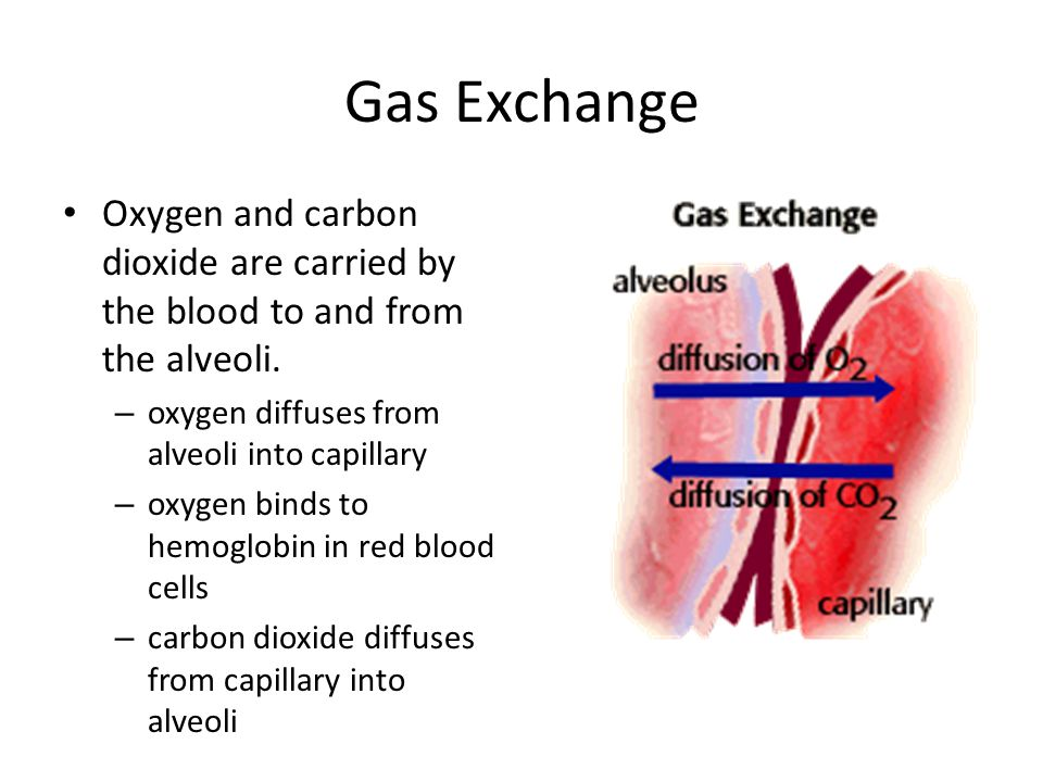 Gas Exchange Oxygen and carbon dioxide are carried by the blood to and from the alveoli. oxygen diffuses from alveoli into capillary.