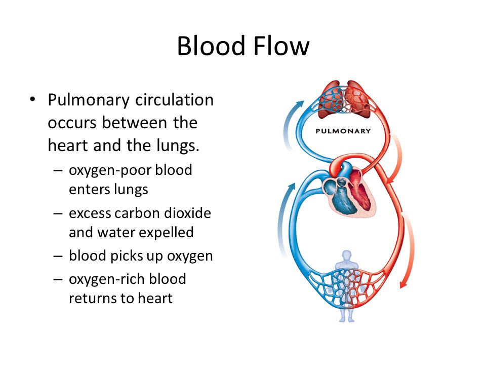 Blood Flow Pulmonary circulation occurs between the heart and the lungs. oxygen-poor blood enters lungs.