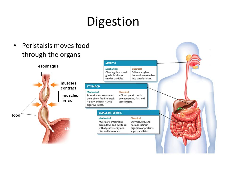 Digestion Peristalsis moves food through the organs esophagus