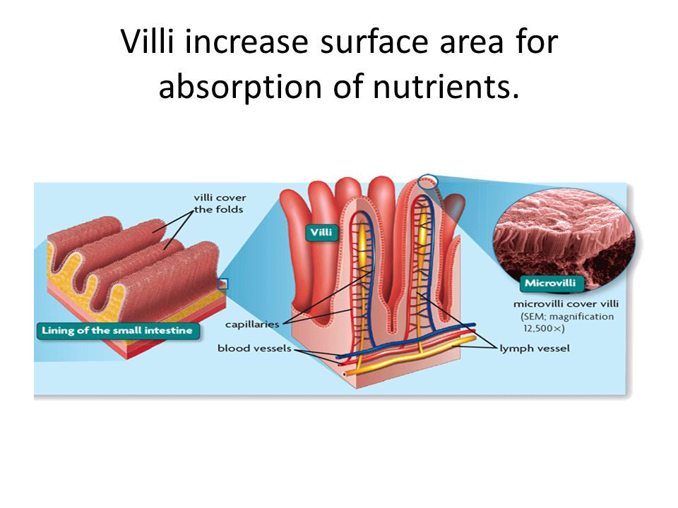 Villi increase surface area for absorption of nutrients.