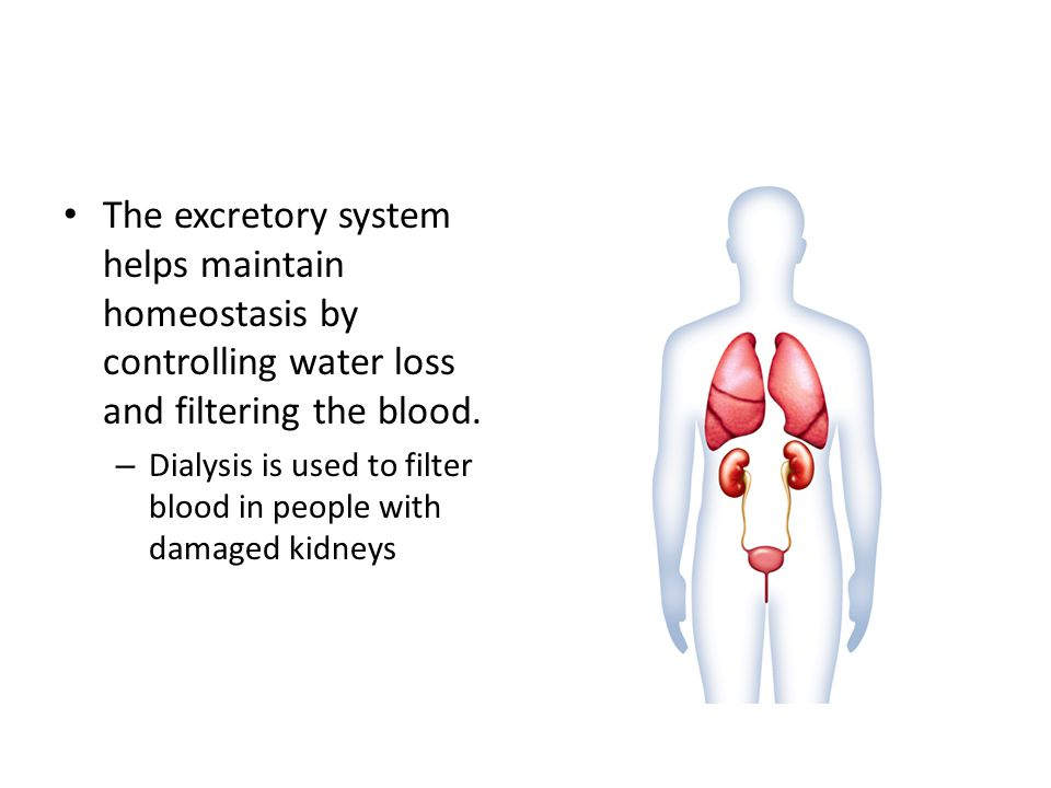 The excretory system helps maintain homeostasis by controlling water loss and filtering the blood.