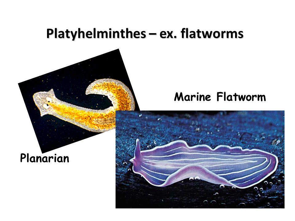 Platyhelminthes – ex. flatworms
