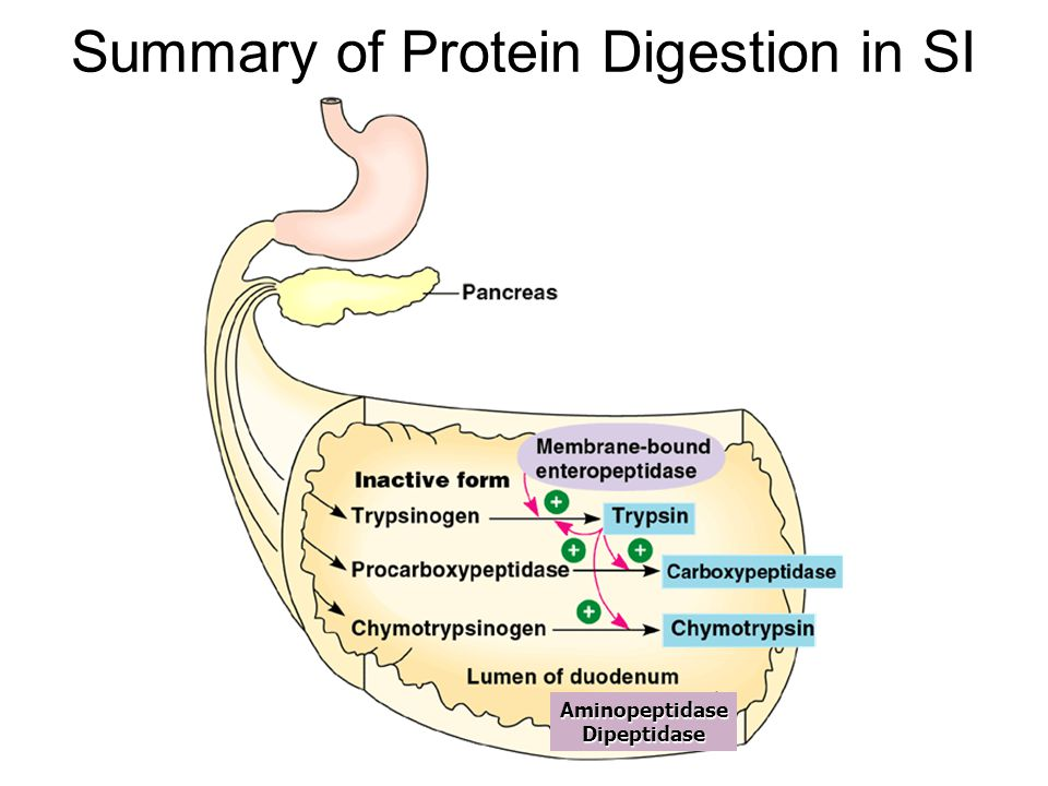 Summary of Protein Digestion in SI