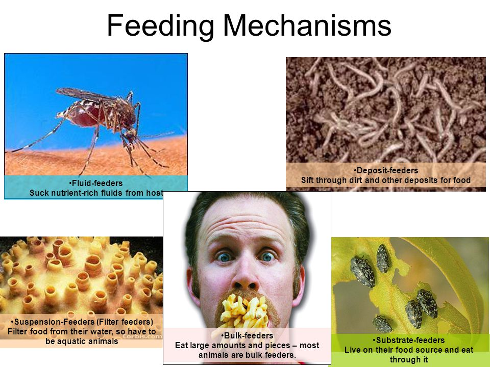 Feeding Mechanisms Deposit-feeders