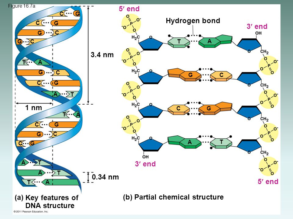 Key features of DNA structure (b) Partial chemical structure