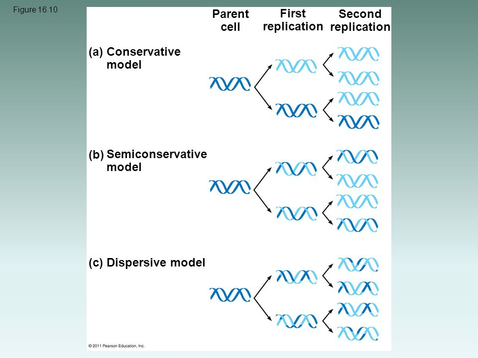 Parent cell First replication Second replication