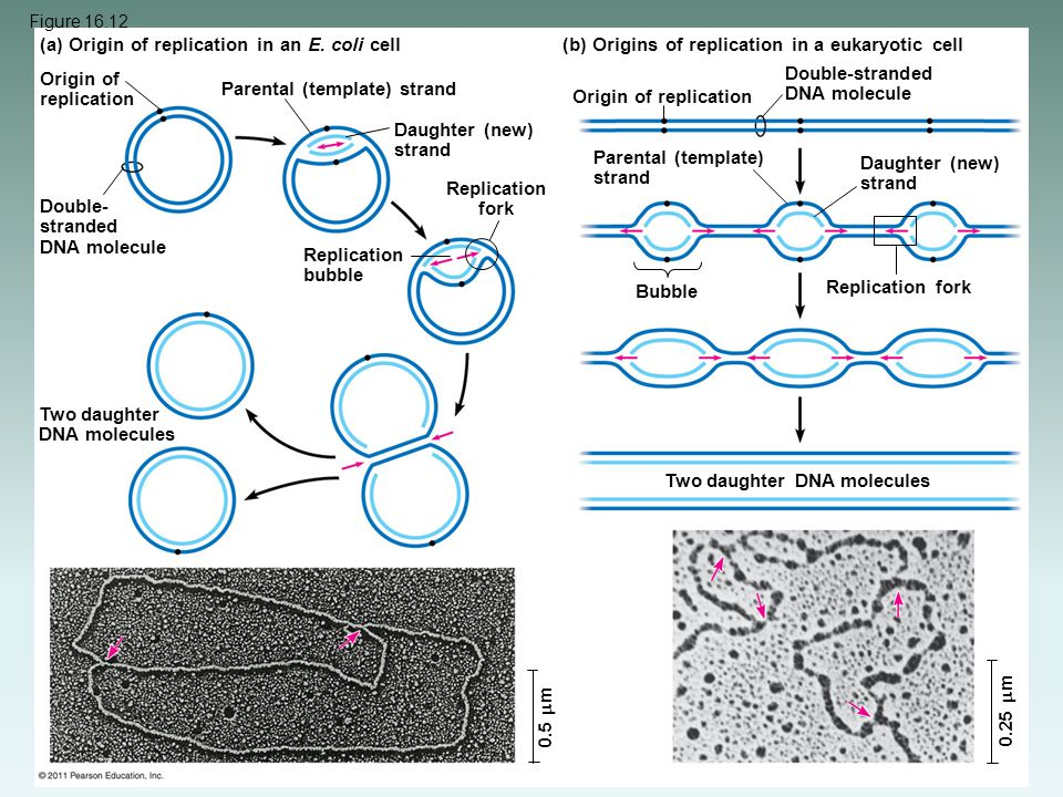 (a) Origin of replication in an E. coli cell
