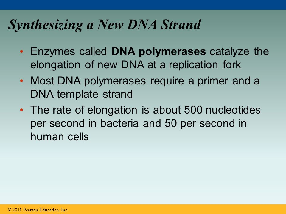 Synthesizing a New DNA Strand