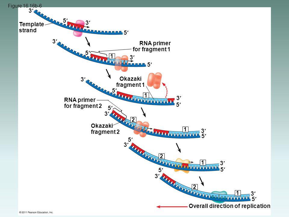 RNA primer for fragment 1