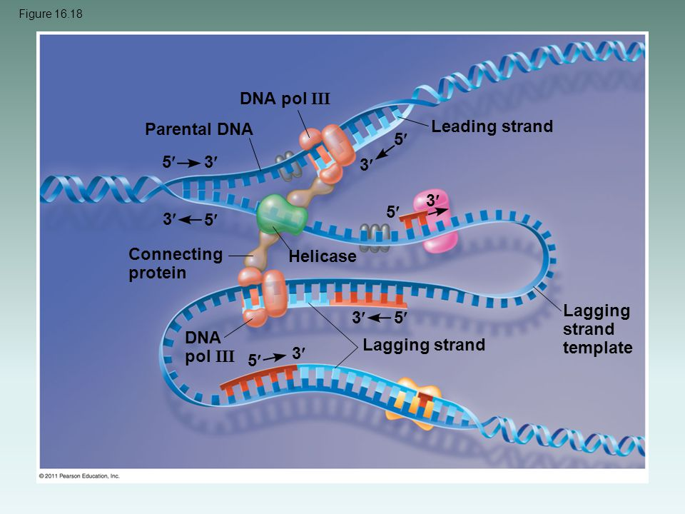 Lagging strand template 3 5 DNA pol III Lagging strand 3 5
