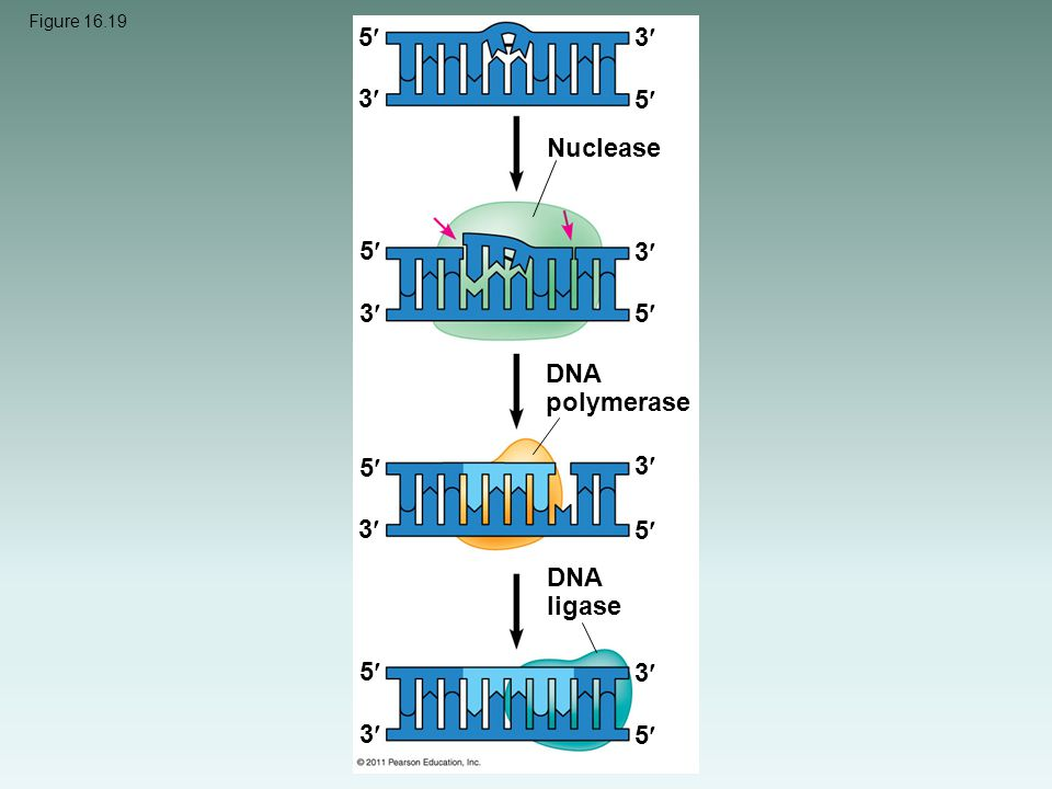 5 3 3 5 Nuclease 5 3 3 5 DNA polymerase 5 3 3 5 DNA ligase