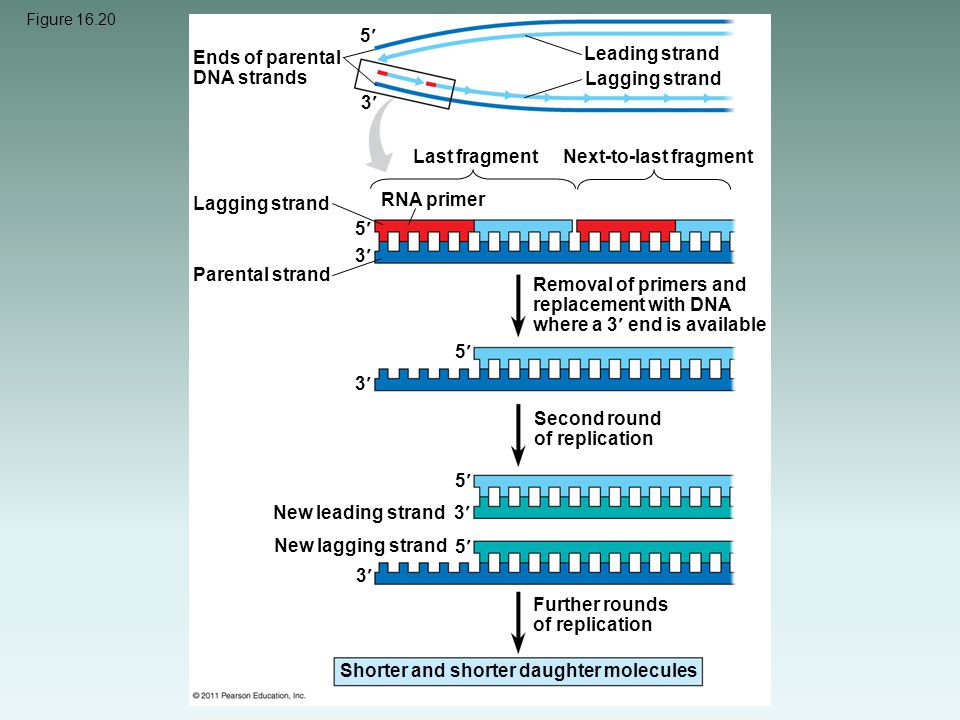 Ends of parental DNA strands Leading strand Lagging strand 3
