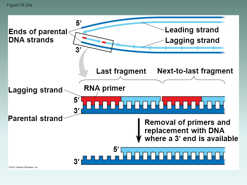 Ends of parental DNA strands Lagging strand 3