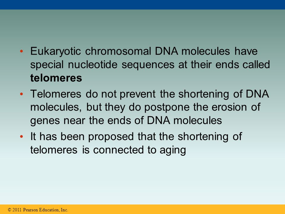 Eukaryotic chromosomal DNA molecules have special nucleotide sequences at their ends called telomeres