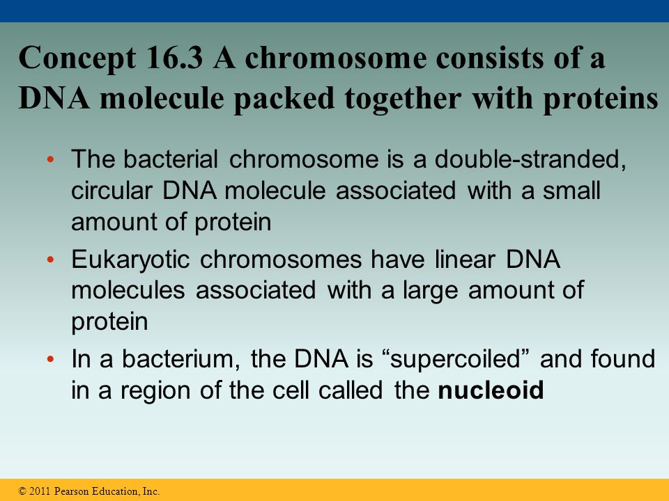 Concept 16.3 A chromosome consists of a DNA molecule packed together with proteins