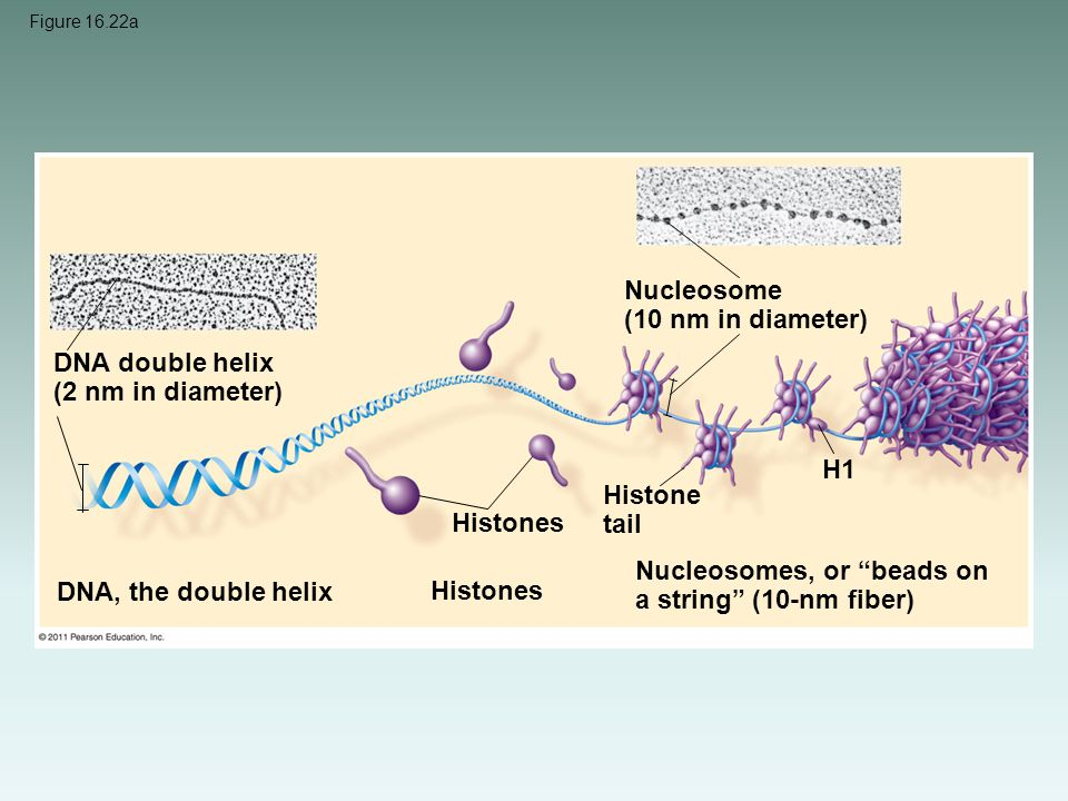 Nucleosome (10 nm in diameter)