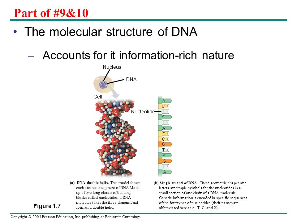 The molecular structure of DNA