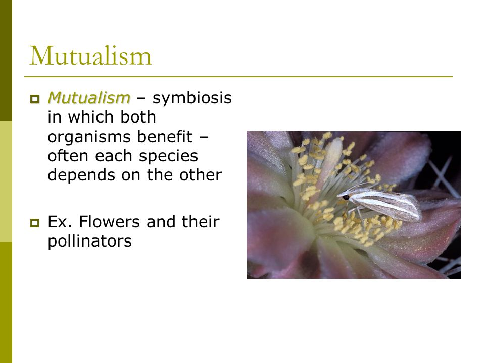 Mutualism Mutualism – symbiosis in which both organisms benefit – often each species depends on the other.