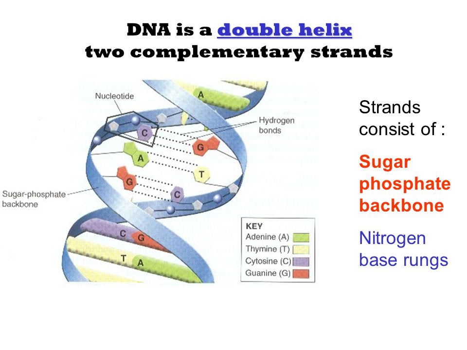 DNA is a double helix two complementary strands