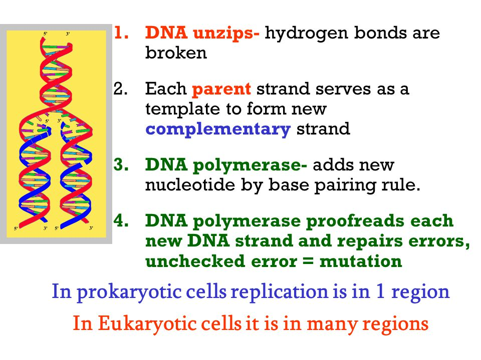 DNA unzips- hydrogen bonds are broken