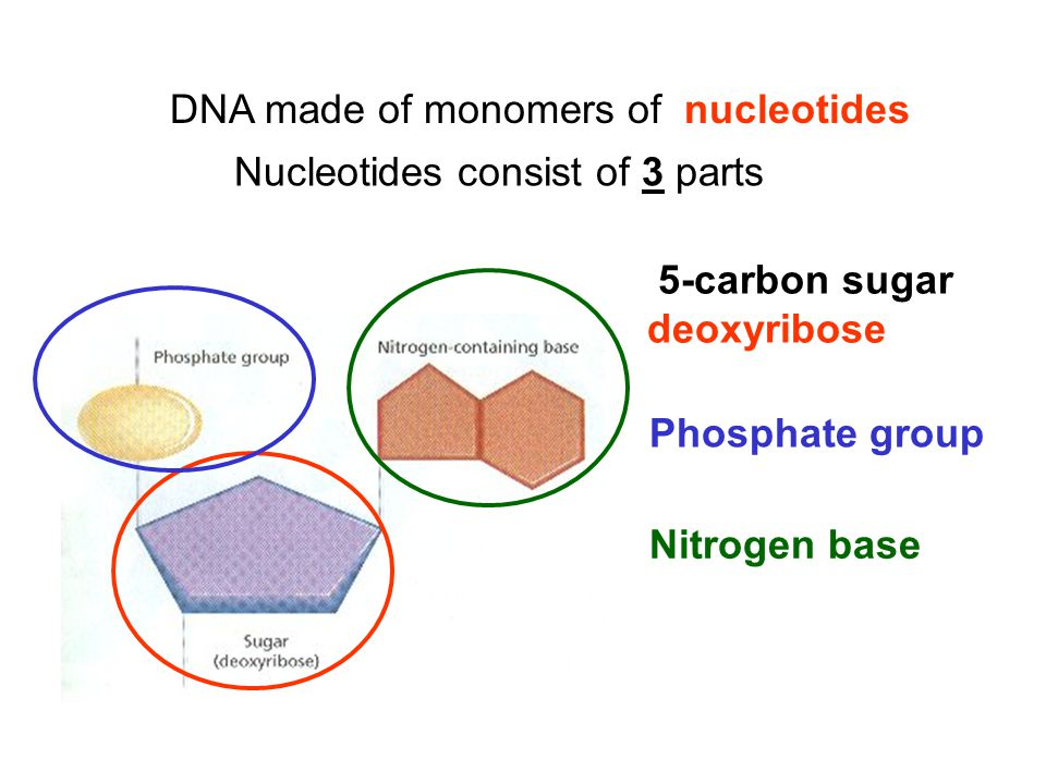 DNA made of monomers of nucleotides