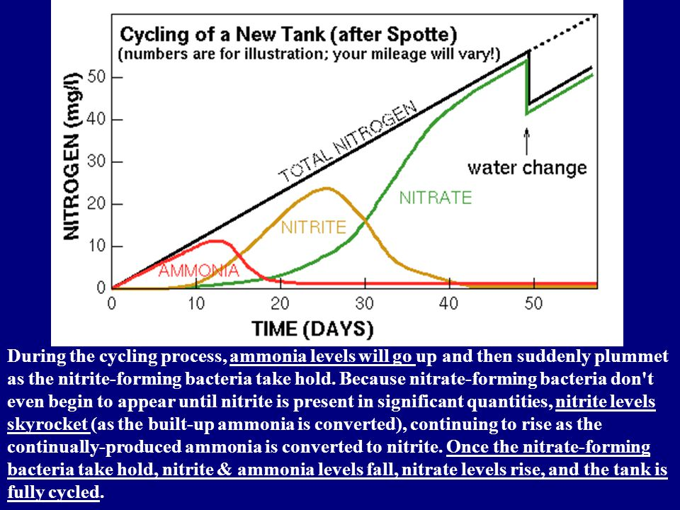 During the cycling process, ammonia levels will go up and then suddenly plummet as the nitrite-forming bacteria take hold.