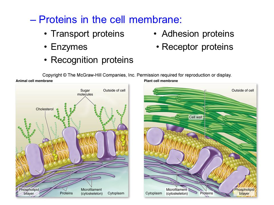Proteins in the cell membrane: