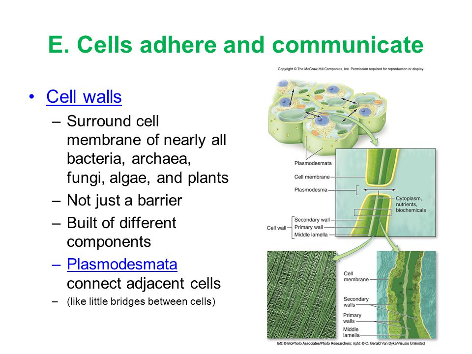 E. Cells adhere and communicate