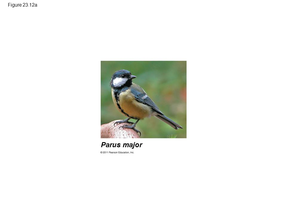 Figure 23.12a Figure 23.12 Gene flow and local adaptation. Parus major