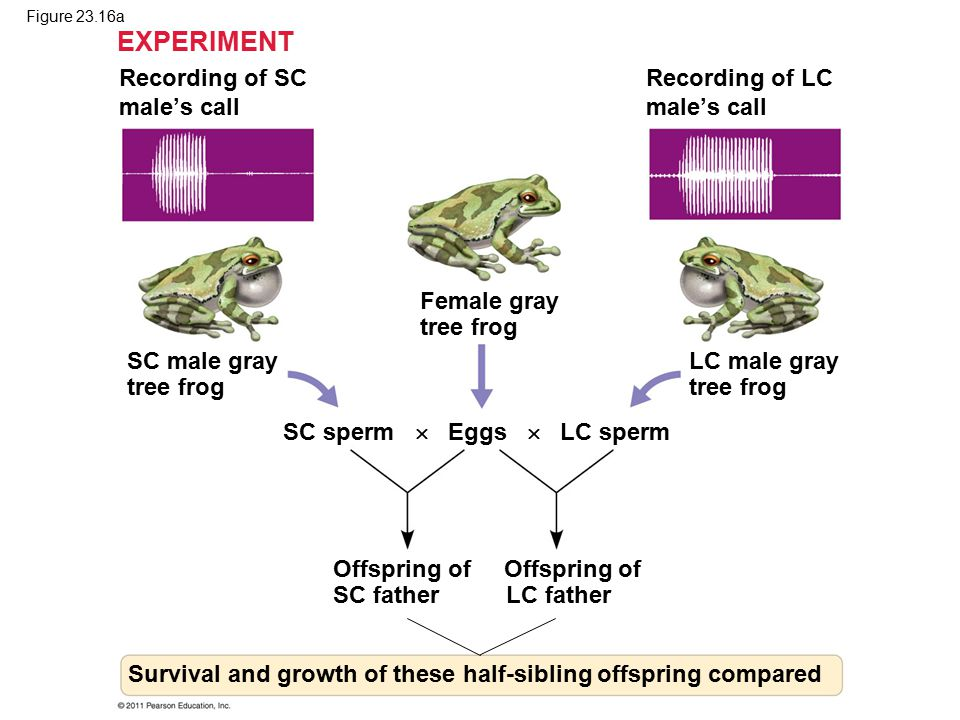 EXPERIMENT Recording of SC male's call Recording of LC male's call