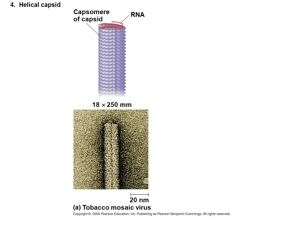 Capsomere RNA of capsid 18  250 mm 20 nm Tobacco mosaic virus