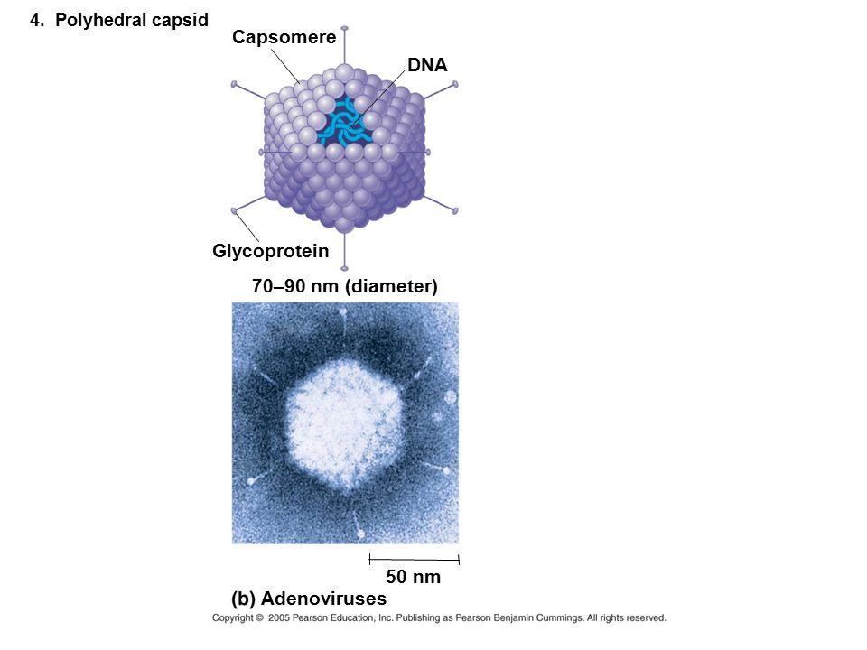 Capsomere DNA Glycoprotein 70–90 nm (diameter) 50 nm Adenoviruses