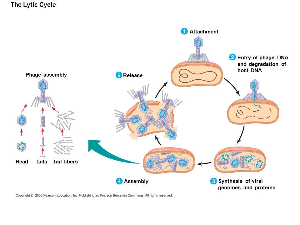 The Lytic Cycle Attachment Entry of phage DNA and degradation of