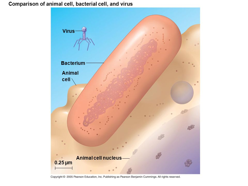 Comparison of animal cell, bacterial cell, and virus
