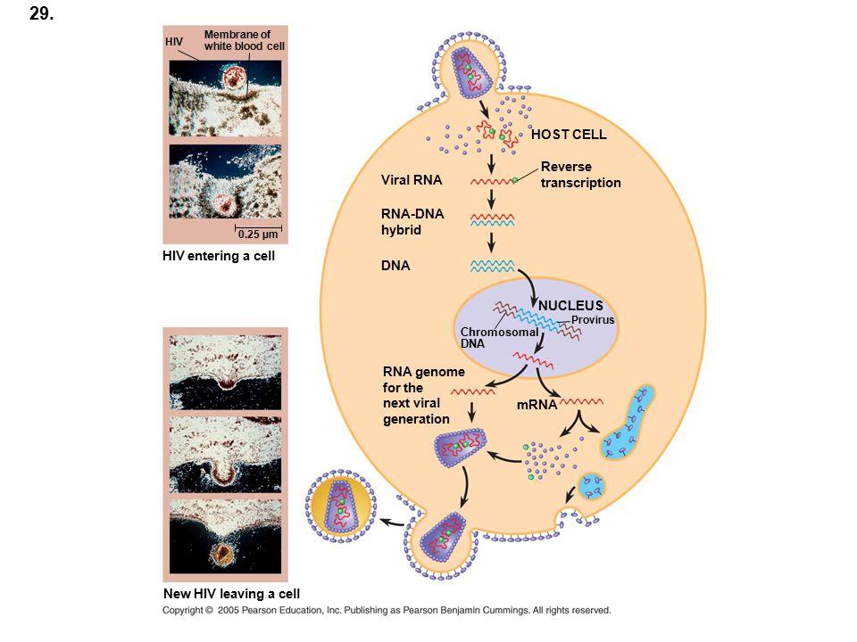 29. HOST CELL Reverse transcription Viral RNA RNA-DNA hybrid