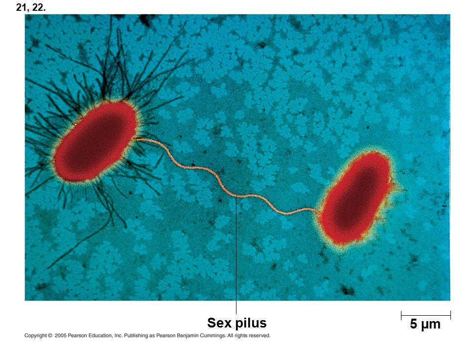 21, 22. Sex pilus 5 µm