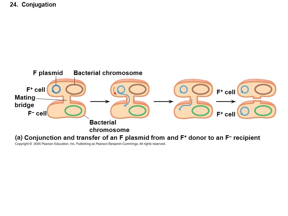 F plasmid Bacterial chromosome F+ cell F+ cell Mating bridge F– cell