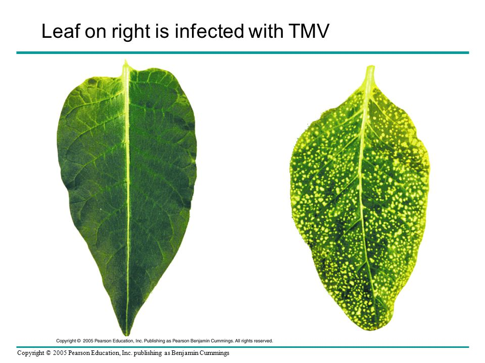 Leaf on right is infected with TMV