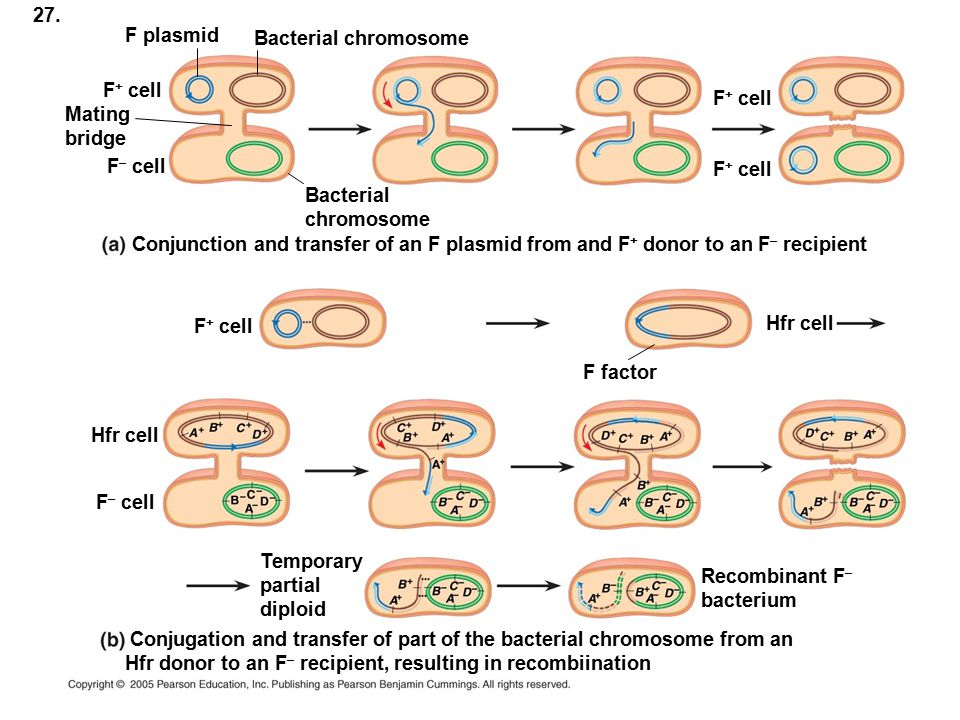 27. F plasmid. Bacterial chromosome. F+ cell. F+ cell. Mating. bridge. F– cell. F+ cell. Bacterial.
