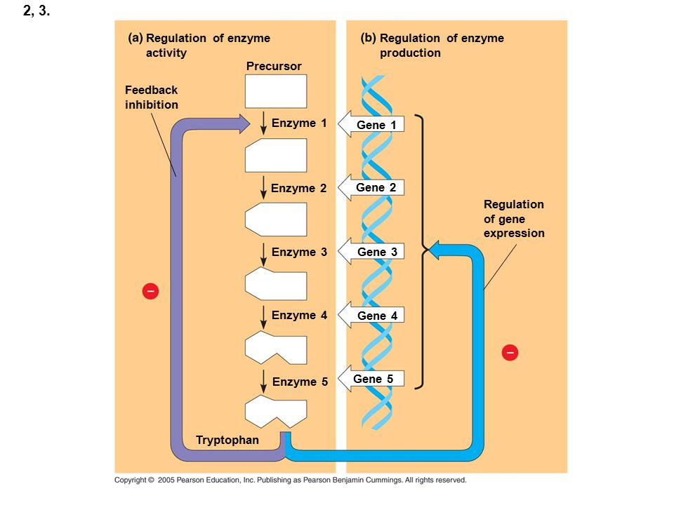 2, 3. Regulation of enzyme activity Regulation of enzyme production
